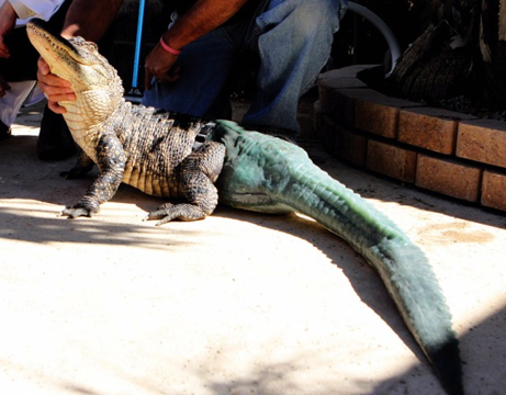 Unstoppable, book by Nancy Fustinger, photo of alligator with prosthetic tail.